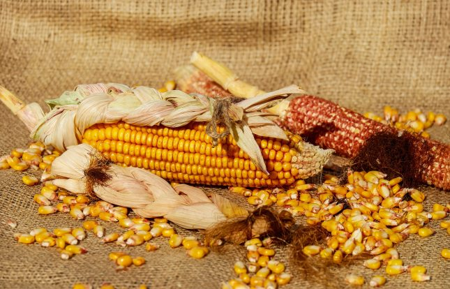 yellow-corn-206653.jpg